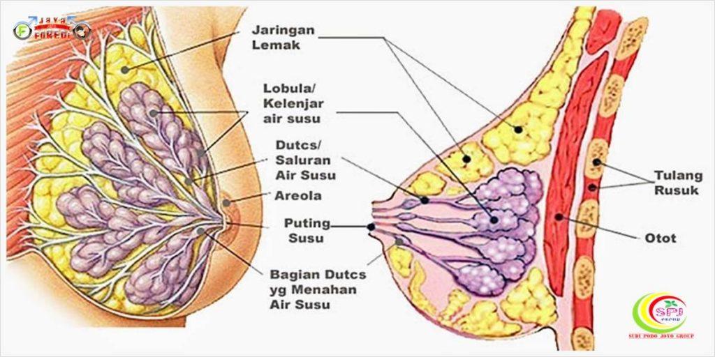Cara Kerja Oris Breast Cream aman dan jelas