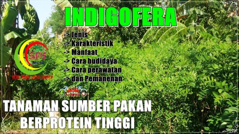 Mengenal Indigofera - Pengertian, Jenis, Pohon, bibit dan cara budidaya