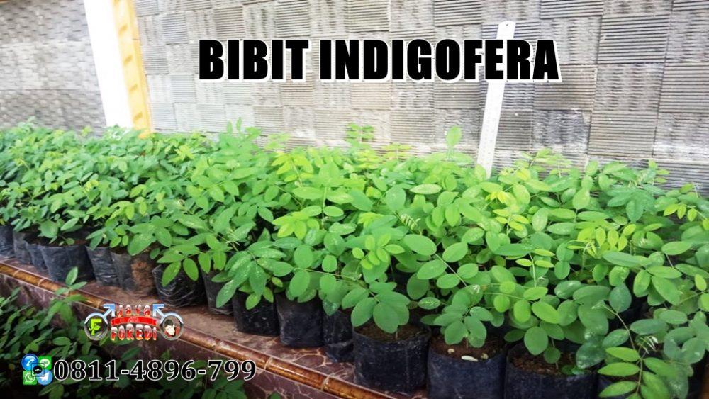 Jual Bibit dan benih Indigofera murah