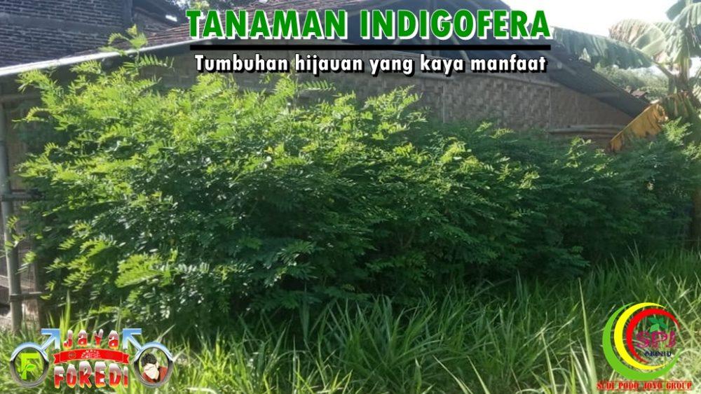 Tanaman Indigofera